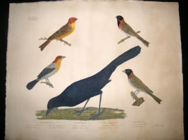 Goldfuss C1830 LG Folio Hand Colored Bird Print. Buntings, Tangara